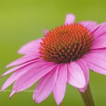 Fairy Dusted Coneflower Fine Art Macro Photography Bowling Green KY Cheree Federico Photography