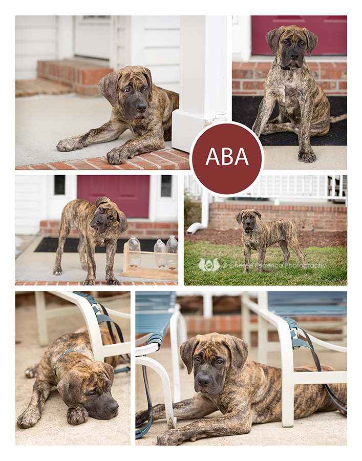 ABA African Mastiff, Bowling Green KY Pet Photography; Cheree Federico Photography; Pet Portraits KY